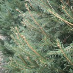Family Landscapers Bring Organic Christmas Trees to Nashville