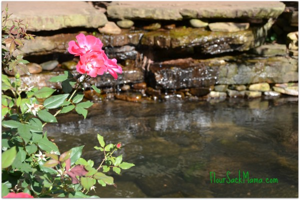 pink roses overhanging still water feature
