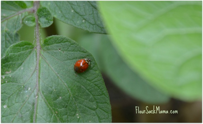 ladybug on leaf of potato plant