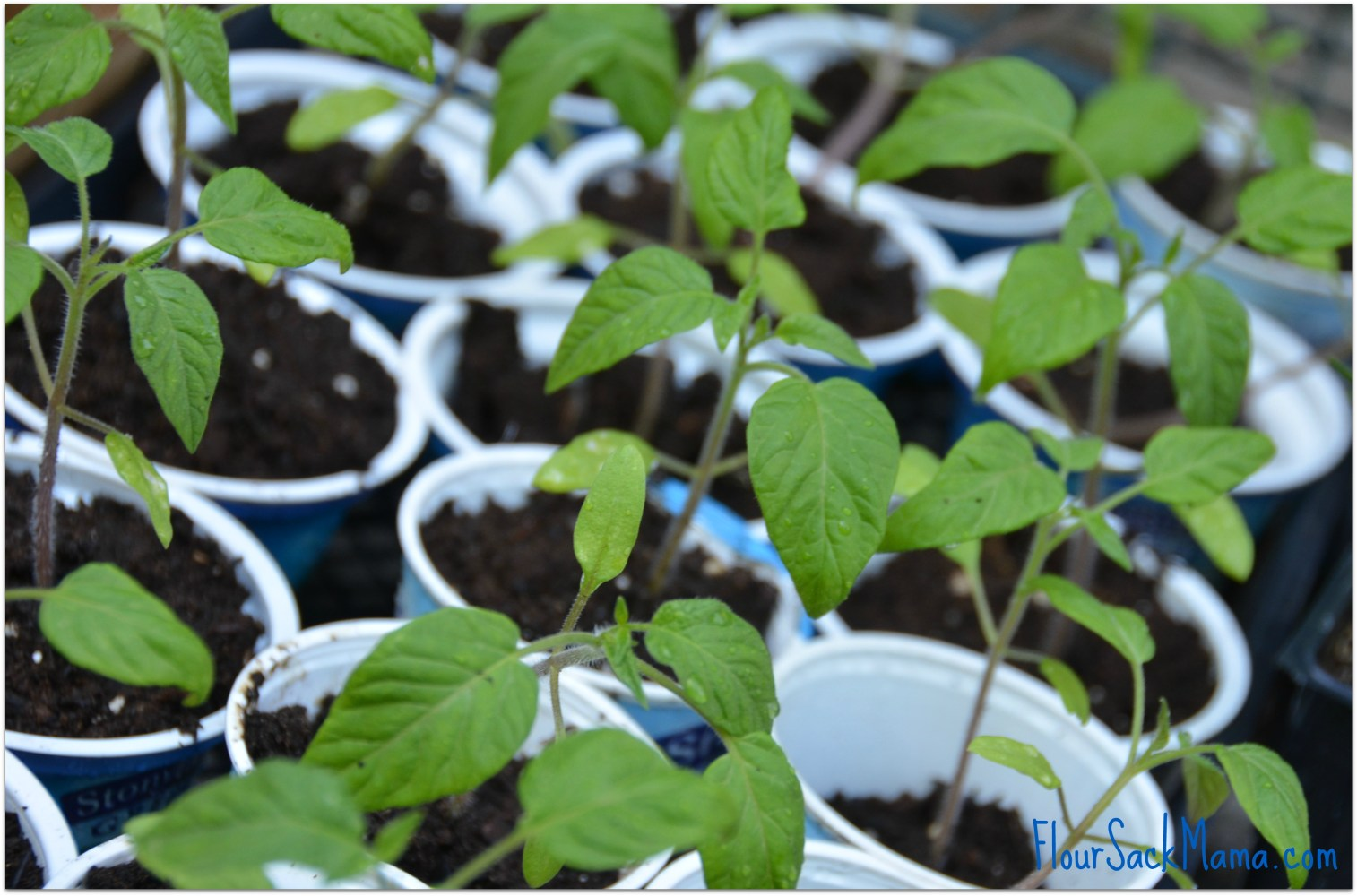seedlings in cups - tomato and pepper plants