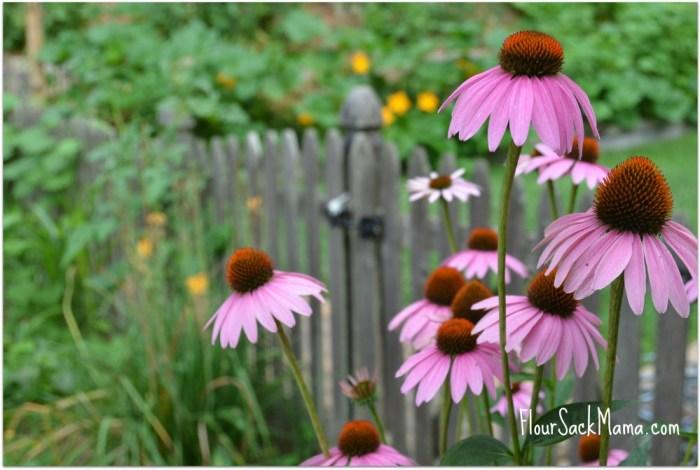purple coneflower and garden fence