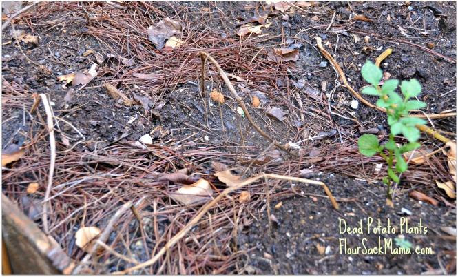 Dead Potato Plants