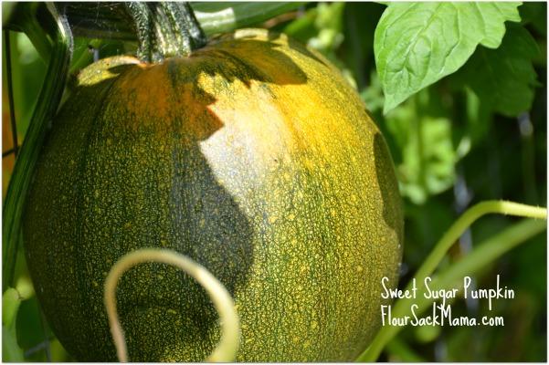 Pumpkin in Summer Flour Sack Mama