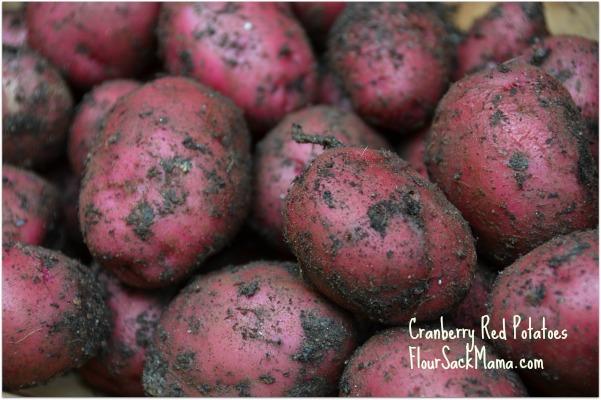 Red Potatoes Dug Up