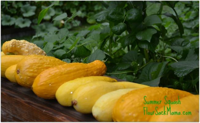 Summer Squash Harvest 2