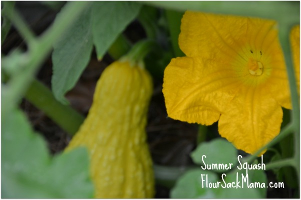 Summer Squash with Bloom