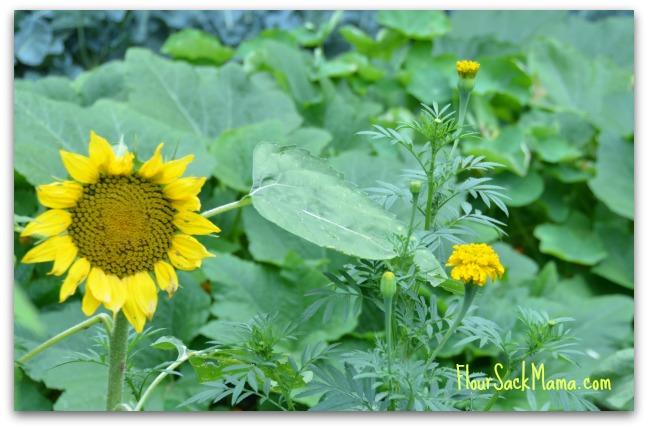 Sunflower Marigold