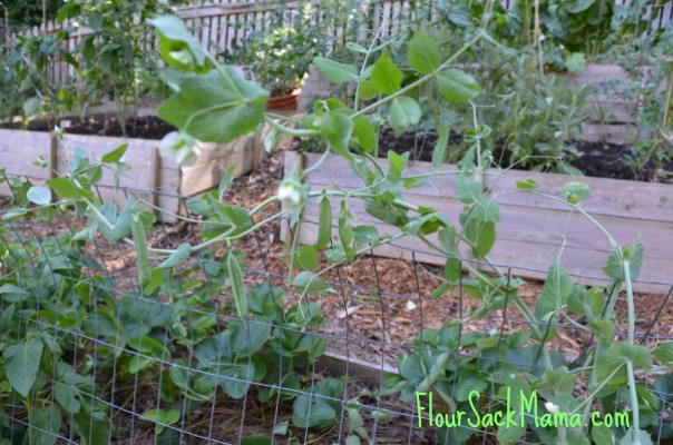Peas in foreground of terraced, raised bed garden