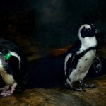 Can a Cow Save a Penguin? Question on World Penguin Day