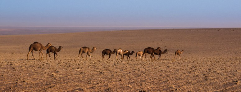 Kamelherde