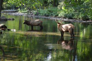 Smoky Mountains Elk in Cherokee, Fly Fishing the Smokies,
