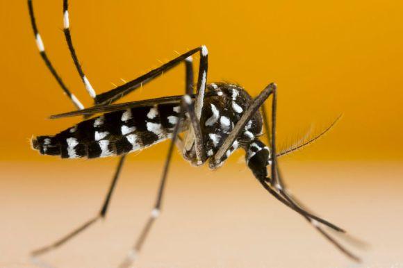 67961153 - asian tiger mosquito (aedes albopictus) isolated