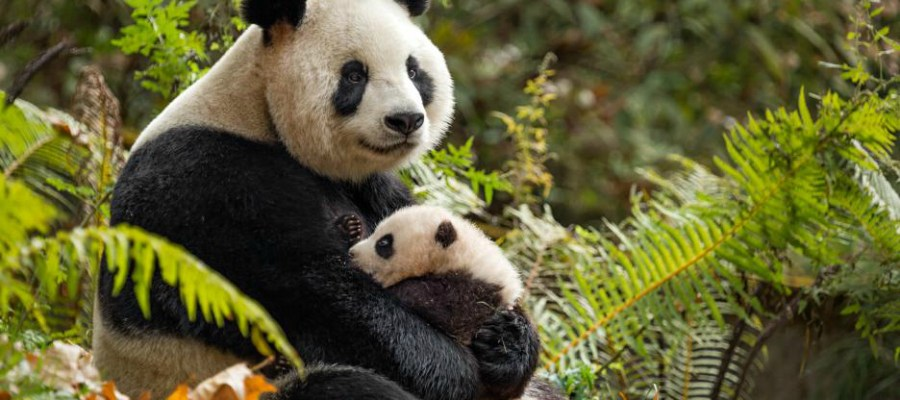 Disneynature's Born in China – Activity Packet and More!