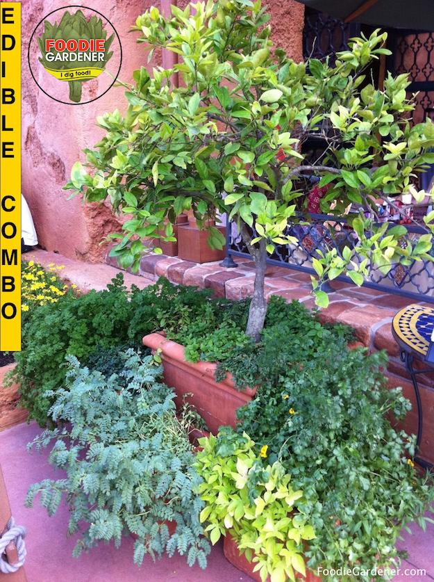 Container-Citrus-Tree-Herb-Combinationjpg-Foodie-Gardener