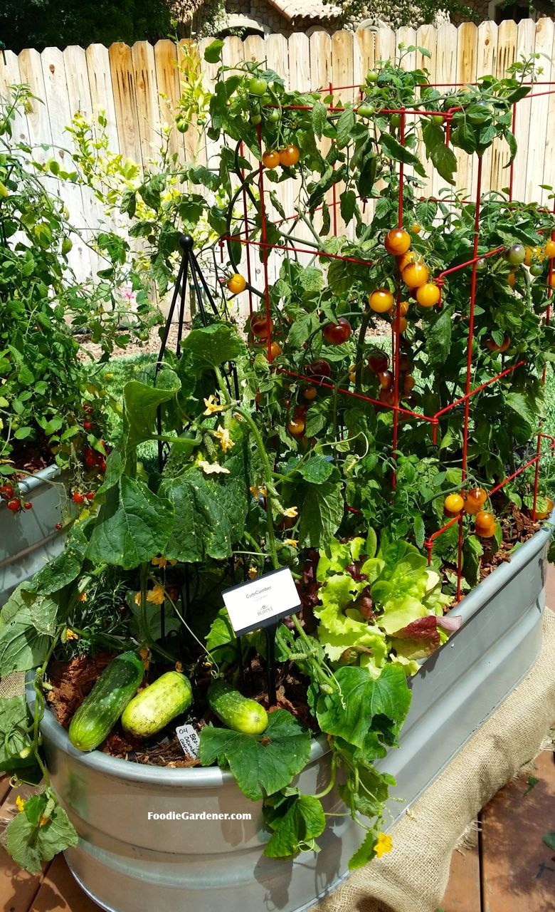 Metal trough used as container for ve able garden cucumbers tomato herbs Foo Gardener blog