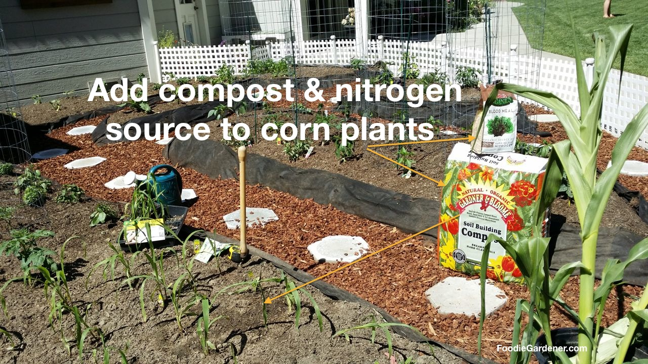 Soil Building Gardner And Bloome Compost And Blood Meal Soil Ammendments  For Growing Corn In Small