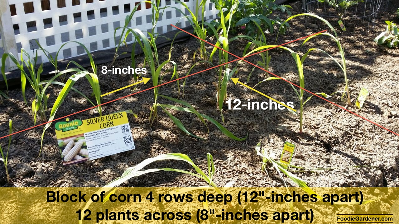 Yes You Can Grow Corn in a Small Garden The Foodie Gardener