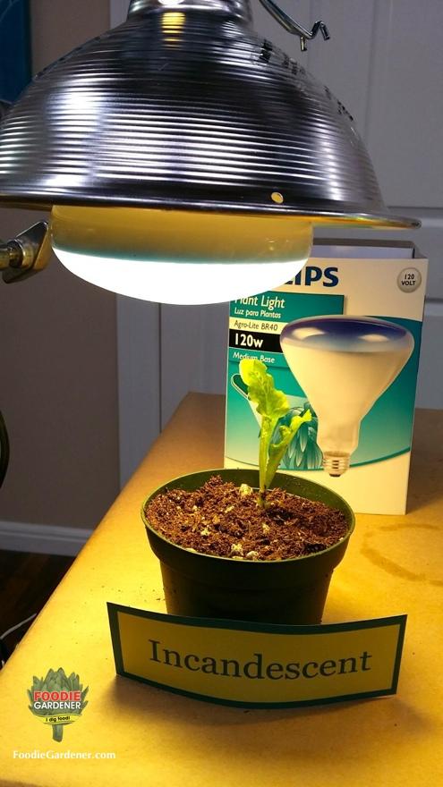 Attractive Incandescent Light Bulb Plant Grow Light Foodie Gardener Blog