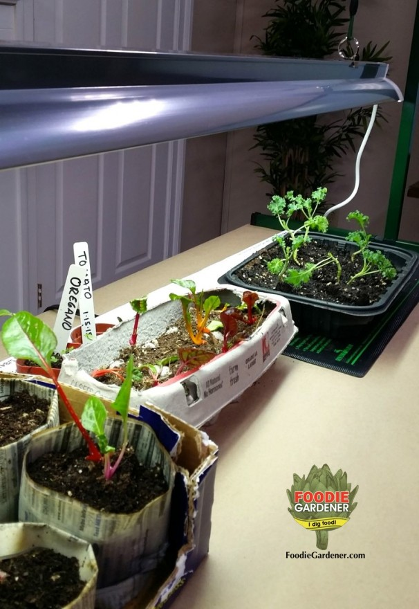 young vegetable plants grow under jump start growl light kit foodie gardener blog