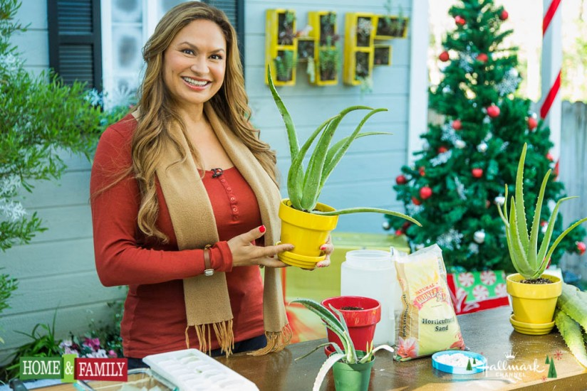 shirley bovshow foodie gardener shows how to grow aloe vera in containers and extract gel from leaves