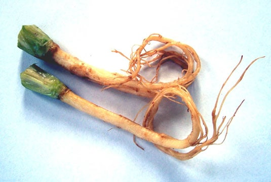 Coriander Roots (Photo © Wikipedia Commons)