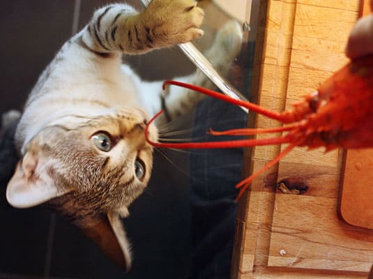 Lobster smells incredibly good to a curious kitty!