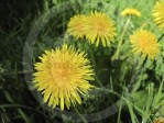 Dandelion Recipes