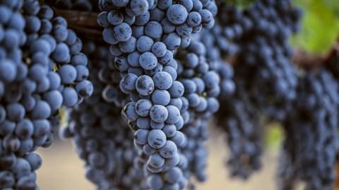 #MerlotMe Grapes