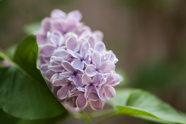 lilac for blog 4-1