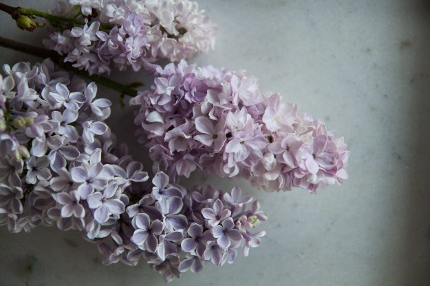 lilac for blog 5-1