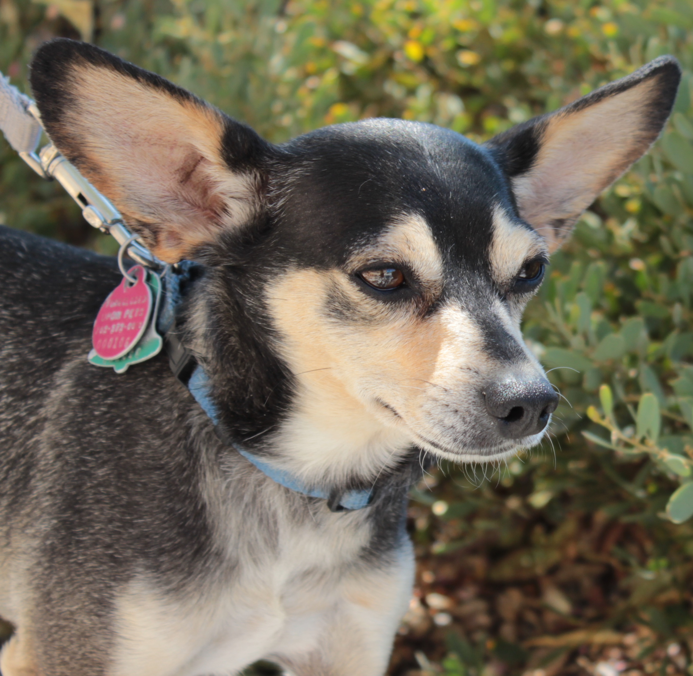 Invigorating Romeo Romeo Pin Mix Adopted Foreclosed Upon Pets Chihuahua Corgi Dachshund Mix Corgi Chihuahua Mix Shedding bark post Chihuahua Corgi Mix