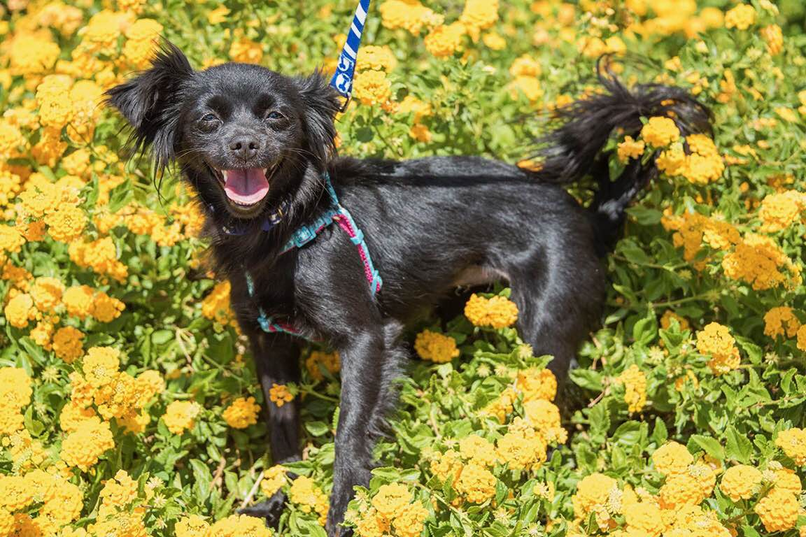 Sophisticated Do On A I Would Do Anorplayful Betsy Long Haired Chihuahua Mix Foreclosed Upon Pets Bark But Love People Or I Would Begood I Can Be A Bit Sassy Kids bark post Long Haired Dogs