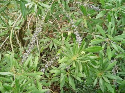 Small Of Southern Wax Myrtle