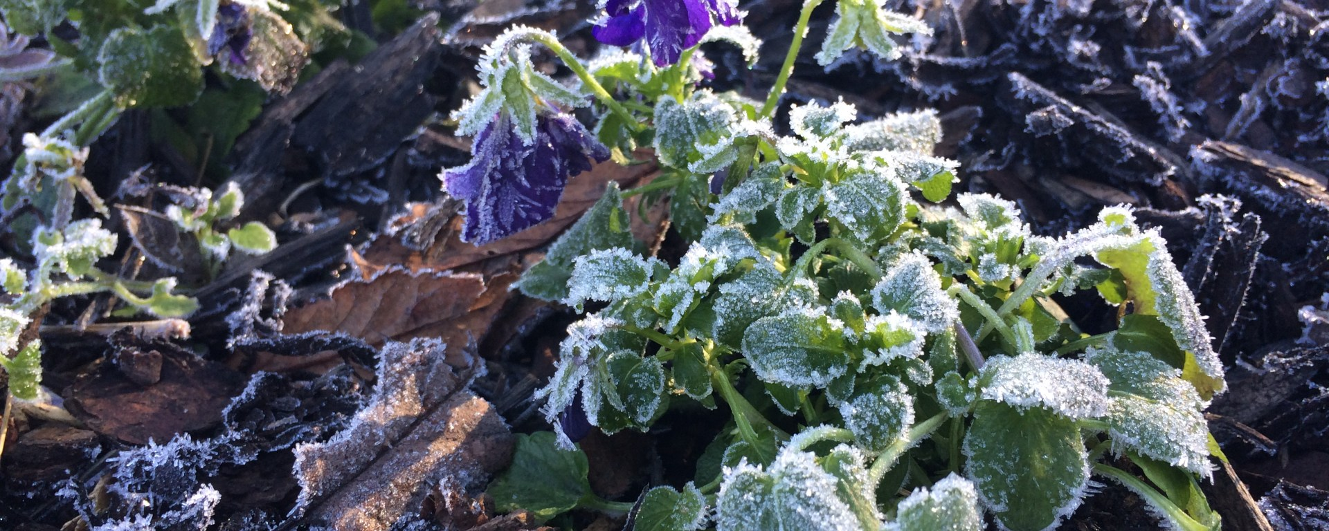 Frosty Pansies