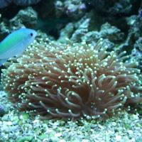 saltwater fish questions - Hammer coral questions | Saltwaterfish Forum