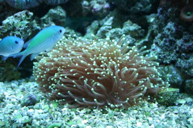Torch Coral Sweeper Question | Saltwaterfish Forum