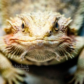 Dragon Lizard Stare Down Darcy Michaelchuk