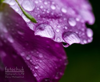 Wild Rose Droplet Darcy Michaelchuk