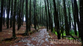 The Ethereal Vagamon Pine Forests