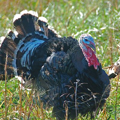Pasture raised Turkey from Four Corners Farm