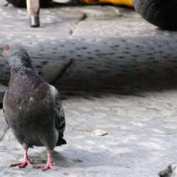 The Pigeon Drugs n Mafia in Florence