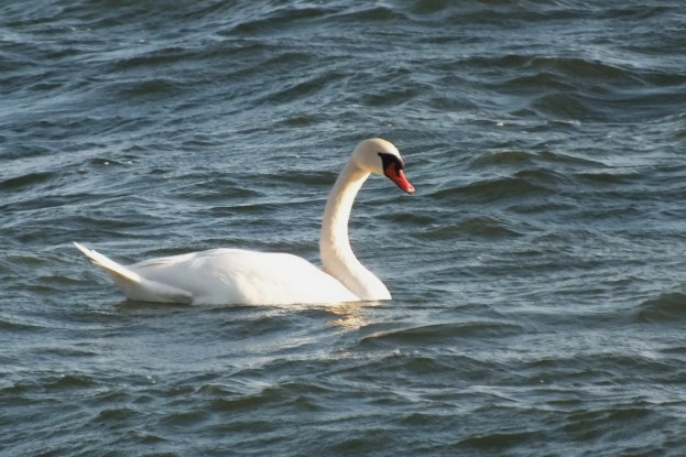 Mute swan offshore - Lynde Conservation Area, Whitby, Ontario