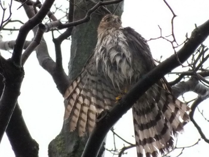 Sharp Shinned Hawk with wet feathers