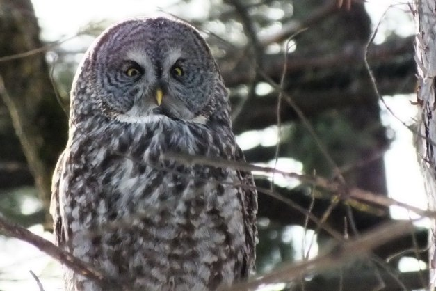Great Grey Owl - sits proud in pine tree 2 - Ottawa - Ontario - Canada - Frame To Frame - Bob & Jean picture
