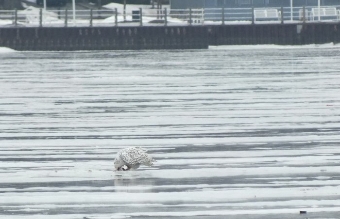 Snowy Owl - eating prey - Frenchman's Bay - Ontario - Canada