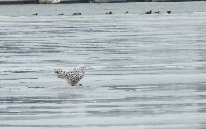 Snowy Owls - back - looking at ducks - Frenchman's Bay - Ontario - Canada