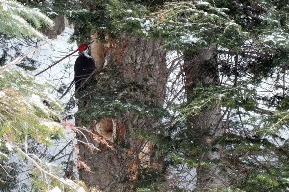 A female pileated woodpecker sits on the side of a tree.