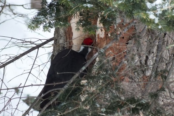 Pileated Woodpecker - back of head