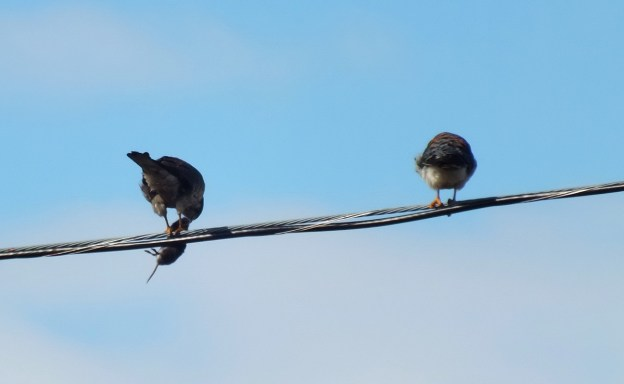 Photo of two American Kestrels on a power line in Whitby - Ontario