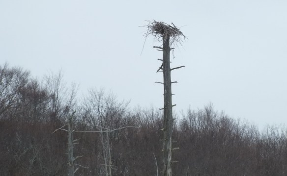 A deserted herons nest in a rookery near Oxtongue Lake - Ontario